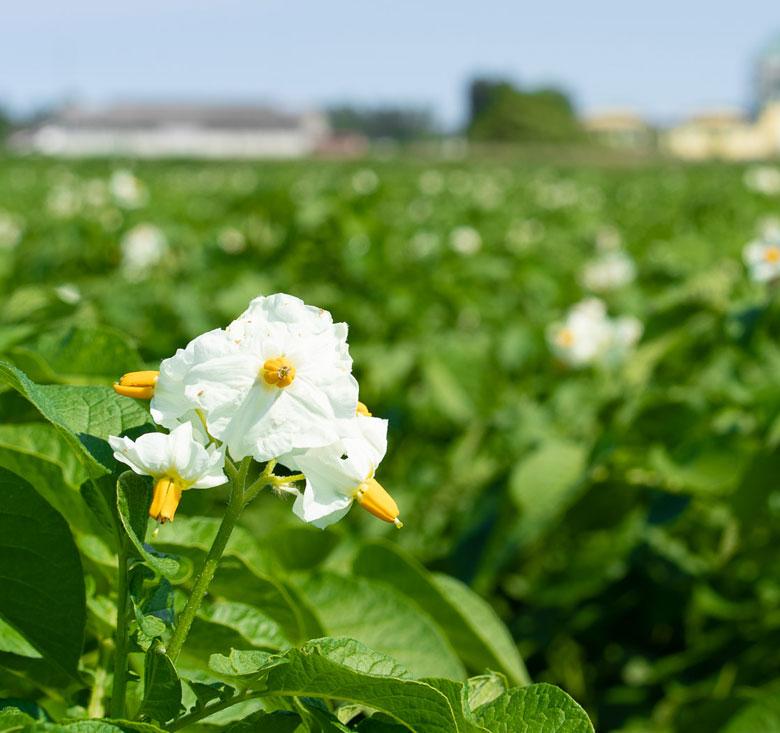 fiore del campo di patate siliotto